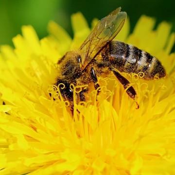 bee-roundup-glyphosate